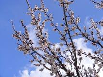 Blommande träd, blomningfruktträd, vår och blommande aprikosträd arkivbilder