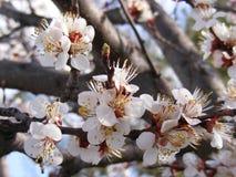 Blommande träd, blomningfruktträd, vår och blommande aprikosträd arkivbild