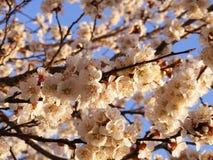 Blommande träd, blomningfruktträd, vår och blommande aprikosträd royaltyfri fotografi