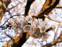 Blommande träd, blomningfruktträd, vår och blommande aprikosträd royaltyfria foton