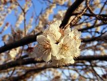 Blommande träd, blomningfruktträd, vår och blommande aprikosträd royaltyfri foto