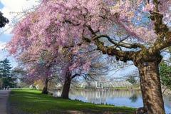 Blommande träd för körsbärsröd blomning på Kew trädgårdar, en botanisk trädgård i sydvästliga London, England royaltyfri fotografi