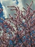 Blommande träd, första tecken av våren Arkivbilder