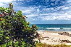 Blommande träd med röda blommor på stranden av Tauranga Fotografering för Bildbyråer