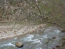 Blommande träd på flodbanken i skogen Royaltyfria Bilder
