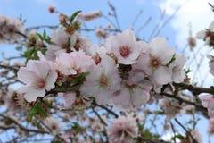 Blommande träd på vårabstrakt begreppbakgrund Royaltyfri Foto