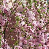 Blommande träd på vårabstrakt begreppbakgrund Arkivfoton