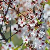 Blommande träd på vårabstrakt begreppbakgrund royaltyfria bilder