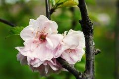 Blommande träd på vårabstrakt begreppbakgrund Arkivfoto
