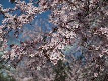 Blommande träd, tecken av våren Fotografering för Bildbyråer