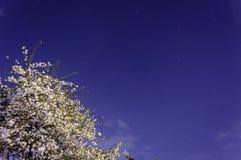 Blommande träd under natthimmel Royaltyfria Foton