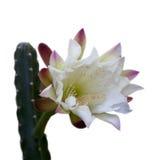 Blommande trädgårds- kaktus; på vit Fotografering för Bildbyråer