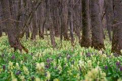 Blommande tr?dg?rd f?r v?r gult och purpurf?rgade ?r de f?rsta blommorna snowdrops royaltyfria bilder