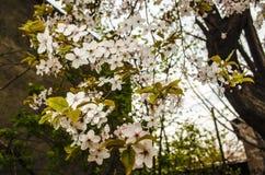 Blommande trädplommon med försiktiga sidor Royaltyfri Foto