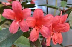 Blommande tropisk röd rhododendronblomma Arkivbilder