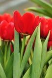 Blommande tulpan Royaltyfria Bilder