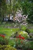 Blommande tulpan för träd för magnolia röda och vita, Arkivfoto