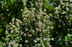 Blommande tuya som är västra på den gröna bakgrunden Arkivbild