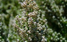 Blommande tuya som är västra på den gröna bakgrunden Arkivbilder
