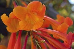 Blommande uddekaprifol Royaltyfri Bild