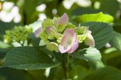 Blommande vanlig hortensia för blomma arkivbilder
