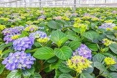 Blommande vanlig hortensiaväxter i ett växthus Fotografering för Bildbyråer
