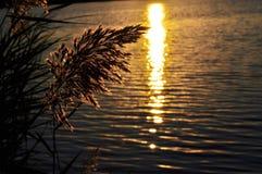 Blommande vass över sjön på solnedgången Arkivfoto