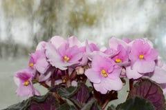 Blommande violet med ett regn Royaltyfri Foto