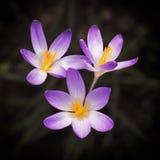 Blommande violett krokus på vår Arkivfoto