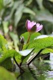 Blommande violett näckrosblomma royaltyfri foto