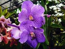 Blommande violett orkidé Fotografering för Bildbyråer