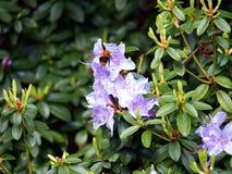 Blommande violett rhododendron 'blåttunder', Arkivbild