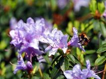 Blommande violett rhododendron 'blåttunder', Arkivfoto