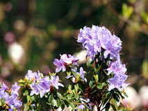 Blommande violett rhododendron 'blåttunder', Royaltyfria Bilder