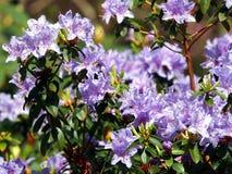 Blommande violett rhododendron 'blåttunder', Arkivfoton
