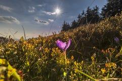 Blommande violetta krokusar i berg Arkivfoto