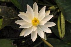 Blommande vit blomma Royaltyfri Fotografi