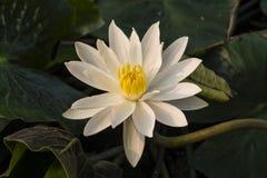 Blommande vit blomma Royaltyfri Bild