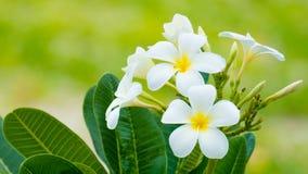 Blommande vit Frangipani Arkivbild
