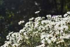 Blommande vit kamomill arkivfoto