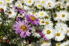 Blommande vit kamomill royaltyfri fotografi
