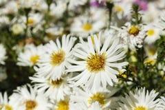 Blommande vit kamomill royaltyfri foto