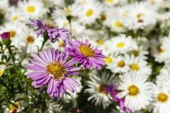Blommande vit kamomill arkivbild