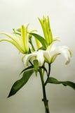 Blommande vit lilja Royaltyfri Foto