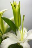 Blommande vit lilja Arkivfoton