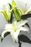 Blommande vit lilja Arkivbild