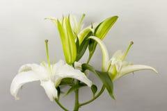 Blommande vit lilja Fotografering för Bildbyråer