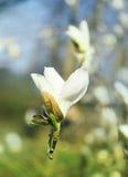 Blommande vit magnoliablomma, naturbakgrund, blomning Arkivbild