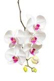 Blommande vit- och rosa färgorkidéfilial Royaltyfri Bild