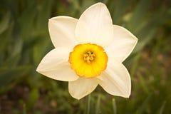 Blommande vit pingstlilja close upp Begreppet av v?ren arkivbilder